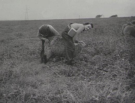 Девушки графства Камберленд ухаживают за овцами.